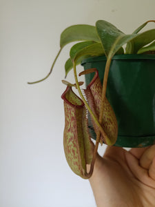 Nepenthes 'Miranda'
