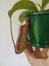 Load image into Gallery viewer, Nepenthes 'Miranda'