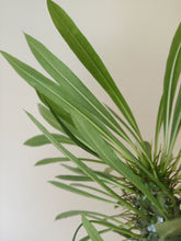 Load image into Gallery viewer, Pachypodium Iamerei - Madagascar palm