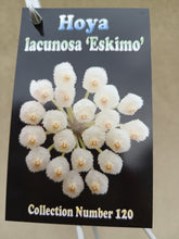 Load image into Gallery viewer, Hoya lacunosa 'Eskimo'