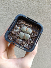 Load image into Gallery viewer, Lithops sp. 11