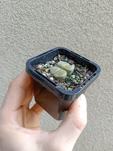 Load image into Gallery viewer, Lithops sp. 10