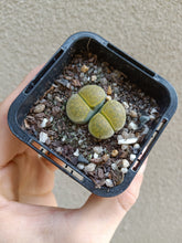 Load image into Gallery viewer, Lithops sp. 9