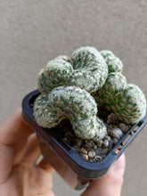 Load image into Gallery viewer, Mammillaria elongata cristata - The Brain Cactus