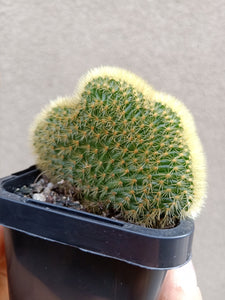 Cleistocactus winteri f. cristatus - Crested Golden Rat Tail