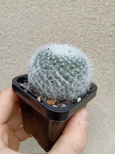 Load image into Gallery viewer, Mammillaria hahniana 'Superba'
