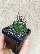 Load image into Gallery viewer, Stenocactus multicostatus