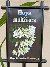 Load image into Gallery viewer, Hoya multiflora