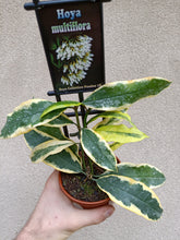 Load image into Gallery viewer, Hoya multiflora outside variegata