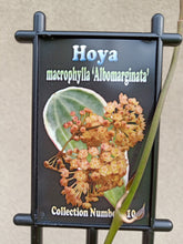Load image into Gallery viewer, Hoya macrophylla albo marginata