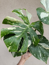 Load image into Gallery viewer, Monstera deliciosa Thai Constellations plant A