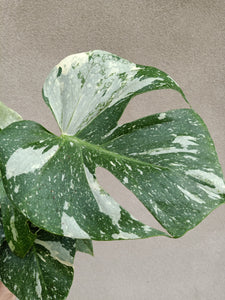 Monstera deliciosa Thai Constellations plant A
