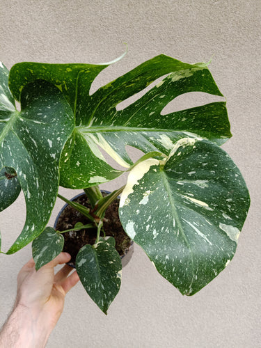 Monstera deliciosa Thai constellation plant B