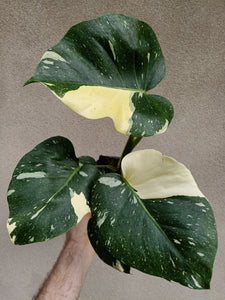Monstera deliciosa Thai constellation plant D