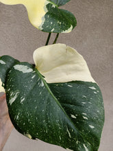 Load image into Gallery viewer, Monstera deliciosa Thai constellation plant D