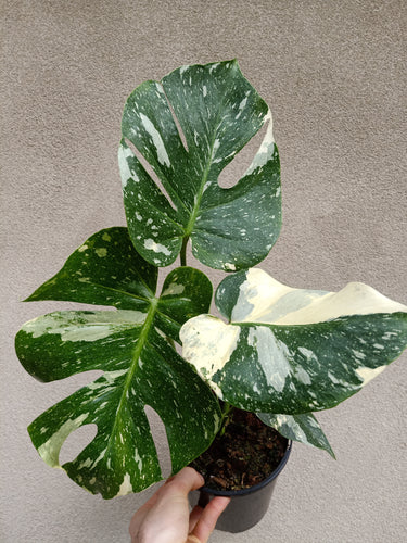Monstera deliciosa Thai constellation plant E