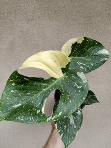 Monstera deliciosa Thai constellation plant F