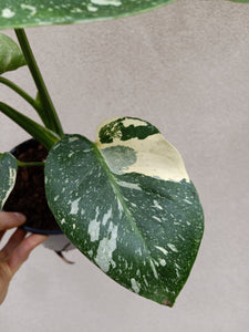 Monstera deliciosa Thai constellation plant H