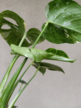Load image into Gallery viewer, Monstera deliciosa Thai constellation plant H