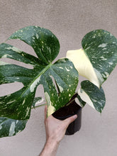 Load image into Gallery viewer, Monstera deliciosa Thai Constellation plant C