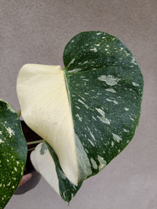 Monstera deliciosa Thai Constellation plant C