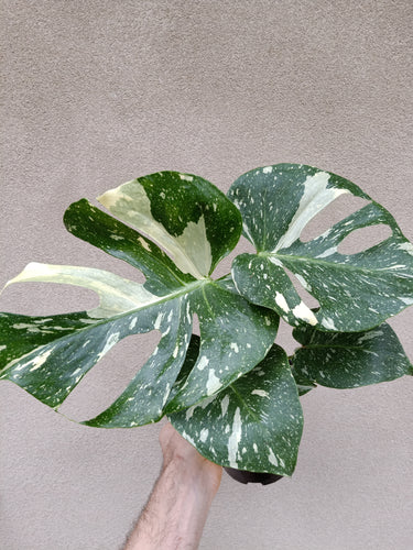 Monstera deliciosa Thai constellation plant G