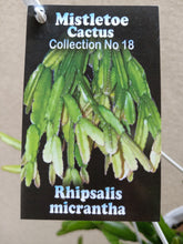 Load image into Gallery viewer, Rhipsalis micrantha