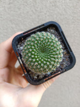 Load image into Gallery viewer, Rebutia sp.
