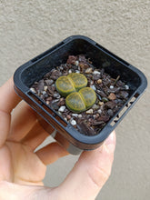 Load image into Gallery viewer, Lithops sp. 7