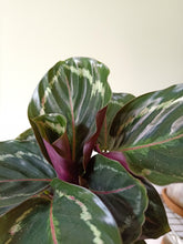Load image into Gallery viewer, Calathea roseopicta 'Medallion'