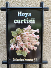 Load image into Gallery viewer, Hoya curtisii