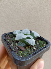 Load image into Gallery viewer, Haworthia pygmaea f. Crystallina