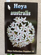 Load image into Gallery viewer, Hoya australis
