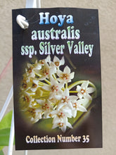 Load image into Gallery viewer, Hoya australis ssp. 'Silver Valley'