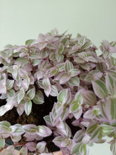 Load image into Gallery viewer, Callisia repens 'Pink Panther'