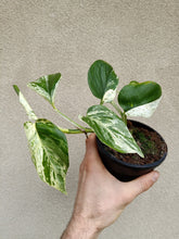 Load image into Gallery viewer, Epipremnum aureum 'Marble Queen'