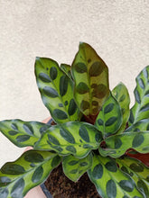 Load image into Gallery viewer, Calathea insignis/ lancifolia - 'Rattle Snake'