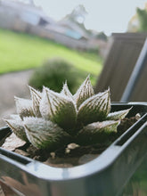 Load image into Gallery viewer, Haworthia cooperi v venusta