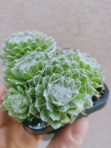 Sempervivum arachnoidium