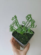 Load image into Gallery viewer, Albuca spiralis 'Frizzle Sizzle'