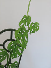 Load image into Gallery viewer, Monstera adansonii with small leaves