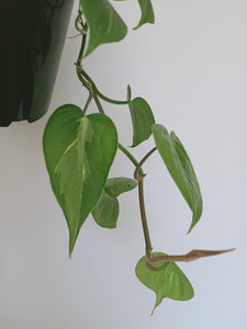 Philodendron hederaceum 'Brasil' with low variegation