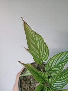 Calathea eliptica 'vittata' yellowing/brown leave tips