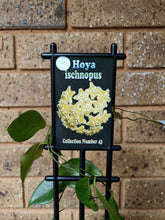 Load image into Gallery viewer, Hoya ischnopus