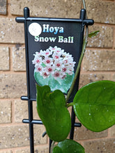Load image into Gallery viewer, Hoya 'Snow Ball'