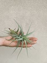 Load image into Gallery viewer, Tillandsia albida large