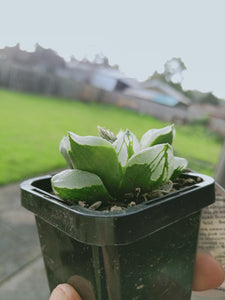 Haworthia ice city