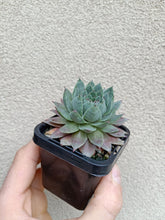 Load image into Gallery viewer, Sempervivum Grey Lady