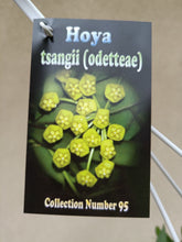 Load image into Gallery viewer, Hoya tsangii odetteae