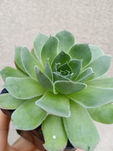 Load image into Gallery viewer, Sempervivum tectorum 'Jade'